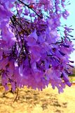 Blooming Jacaranda trees. On the streets of Harare, Zimbabwe Stock Photos
