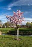 Blooming japan sakura flowers. Cherry tree Stock Image