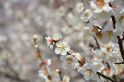 Blooming Japanese apricot, spring in Kyoto Japan. Stock Photography