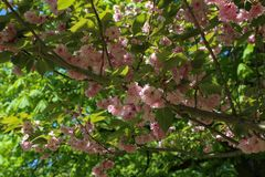 Blooming Japanese cherry in the city park royalty free stock photo