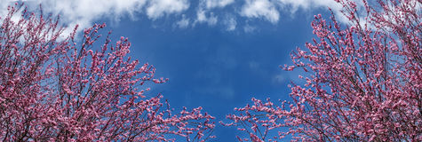 Blooming Japanese Cherry - panorama Royalty Free Stock Photography