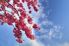 Blooming Japanese cherry tree against a cloudy sky stock photos