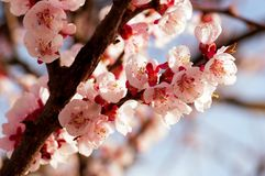 Blooming japanese cherry tree. Blossom white, pink sakura flowers with bright white flowers in the background royalty free stock image