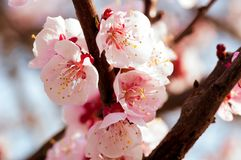 Blooming japanese cherry tree. Blossom white, pink sakura flowers with bright white flowers in the background royalty free stock photography