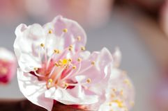 Blooming japanese cherry tree. Blossom white, pink sakura flowers with bright white flowers in the background stock photos