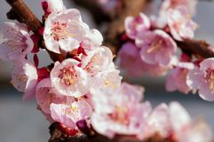 Blooming japanese cherry tree. Blossom white, pink sakura flowers with bright white flowers in the background royalty free stock photo