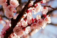 Blooming japanese cherry tree. Blossom white, pink sakura flowers with bright white flowers in the background royalty free stock images
