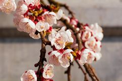 Blooming japanese cherry tree. Blossom white, pink sakura flowers with bright white flowers in the background stock image