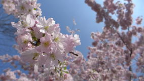 Blooming japanese cherry tree, sakura in the spring sunny day, branches slightly moving in the breeze, closeup HD footage. Blooming japanese cherry tree, sakura stock video