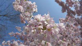 Blooming japanese cherry tree, sakura in the spring sunny day, branches slightly moving in the breeze, closeup HD footage. Blooming japanese cherry tree, sakura stock footage