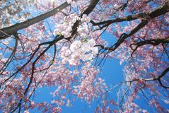 Blooming Japanese Cherry Trees Royalty Free Stock Image