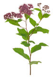 Blooming japanese meadowsweet, Spiraea japonica isolated on white background Stock Photos