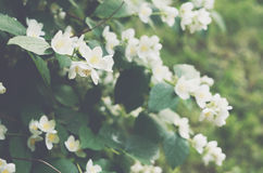 Blooming jasmin bush with tender white flowers Stock Image