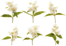 Blooming jasmine. Various branches of blooming jasmine on a white background stock image