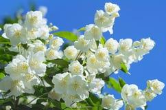 Blooming jasmine. Beautiful blooming jasmine against the blue sky Stock Image