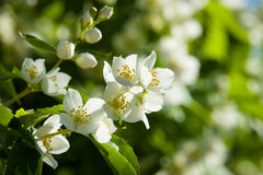 Blooming jasmine Stock Photos