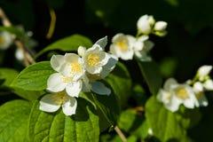 Blooming jasmine. Beautiful jasmine flowers. Flowering in vivo Stock Image
