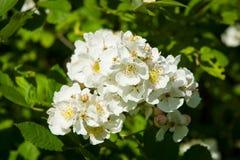 Blooming jasmine Royalty Free Stock Photos