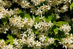Blooming jasmine Stock Photography