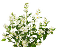 Blooming jasmine branch Stock Images