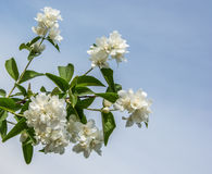 Blooming Jasmine. Branch white blooming Jasmine on a blue sky background royalty free stock images