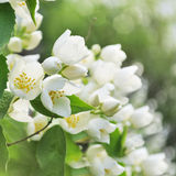 Blooming jasmine bush. With focus on front flowers Stock Image