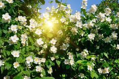 Blooming jasmine bush on a background of sky Royalty Free Stock Image