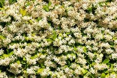Blooming jasmine Royalty Free Stock Photo