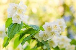 Blooming jasmine bush Royalty Free Stock Photography