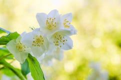Blooming jasmine bush Royalty Free Stock Images