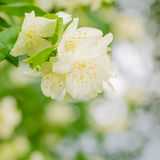Blooming jasmine bush, close-up Stock Images