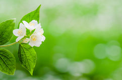 Blooming jasmine bush, close-up Stock Photos
