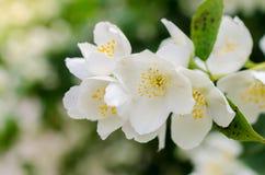 Blooming jasmine bush in the garden Royalty Free Stock Photo