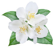 Blooming jasmine flower with leaves. Stock Image