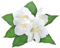 Blooming jasmine flower with leaves. Royalty Free Stock Photo