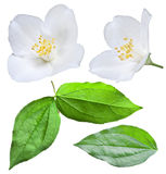 Blooming jasmine flower with leaves. Royalty Free Stock Images