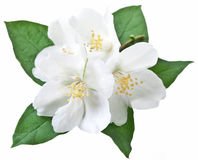 Blooming jasmine flower with leaves. Royalty Free Stock Photos