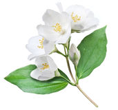 Blooming jasmine flower with leaves. Stock Images