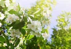 Blooming jasmine flowers Stock Photos