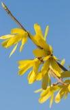 Blooming jasmine Stock Image
