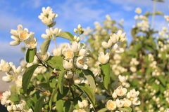 Blooming Jasmine in the rays of the June sun. White flowers of Jasmine on a background of green leaves and blue sky Stock Image
