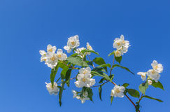 Blooming jasmine Royalty Free Stock Images