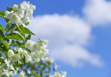Blooming jasmine Royalty Free Stock Image