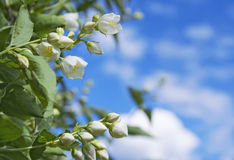 Blooming jasmine Stock Images