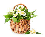 Blooming jasmine in a wicker basket Royalty Free Stock Images
