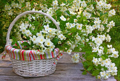 Blooming jasmine in a wicker basket on old wooden wall Royalty Free Stock Photo