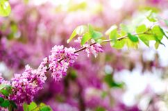 Blooming Judas tree. Cercis siliquastrum, canadensis, Eastern redbud. Blossom pink flowers branch in sunlights. Spring. And summer concept, sunny day. Copy Royalty Free Stock Photography