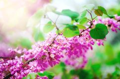 Blooming Judas tree. Cercis siliquastrum, canadensis, Eastern redbud. Blossom pink flowers branch in sunlights. Spring. And summer concept, sunny day. Copy Stock Image
