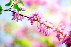 Blooming Judas tree. Cercis siliquastrum, canadensis, Eastern redbud. Blossom pink flowers branch in sunlights. Spring. And summer concept, sunny day. Copy Royalty Free Stock Image