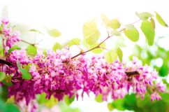 Blooming Judas tree. Cercis siliquastrum, canadensis, Eastern redbud. Blossom pink flowers branch in sunlights. Spring. And summer concept, sunny day. Copy Stock Photography